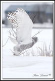 HARFANG DES NEIGES  -  SNOWY OWL   _MG_4489aa. -  HARFANG DES NEIGES  -  SNOWY OWL