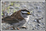 IMG_9643.jpg  -   BRUANT À GORGE BL ANCHE /  WHITE-THROATED SPARROW
