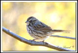 IMG_7759.jpg  -  BRUANT CHANTEUR / SONG SPARROW