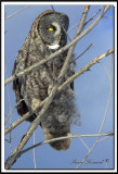 CHOUETTE LAPONE - GREAT GRAY OWL    foretperdue 106
