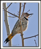 _MG_6686.jpg  -  PIC FLAMBOYANT / NORTHERN FLICKER