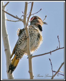 _MG_6704.jpg -  PIC FLAMBOYANT / NORTHERN FLICKER