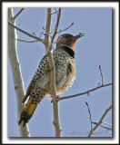 _MG_6714.jpg -  PIC FLAMBOYANT / NORTHERN FLICKER