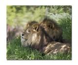 Melbourne Zoo Lion 1.jpg