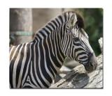 Melbourne Zoo Zebra 2.jpg