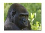 Melbourne Zoo Gorilla 2.jpg