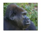 Melbourne Zoo Gorilla 1.jpg