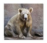 Melbourne Zoo Brown Bear 1.jpg