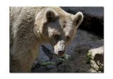 Melbourne Zoo Brown Bear 2.jpg