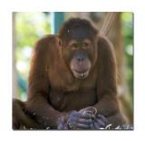 Melbourne Zoo Orangutan 3 1.jpg