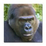 Melbourne Zoo Gorilla 4.jpg