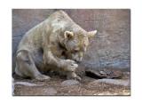 Melbourne Zoo Brown Bear 2 1.jpg