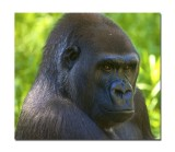 Melbourne Zoo Gorilla 8.jpg