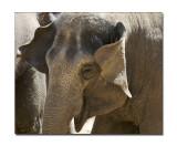Melbourne Zoo Eliphant 7.jpg