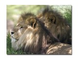 Melbourne Zoo Lion 7.jpg