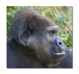 Melbourne Zoo Gorilla 9.jpg