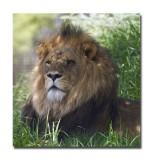 Melbourne Zoo Lion 8.jpg