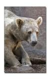 Melbourne Zoo Brown Bear 5.jpg