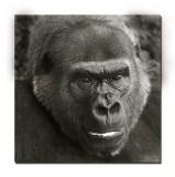 Melbourne Zoo Gorilla 4_2.jpg