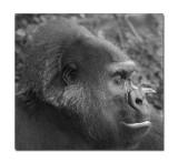 Gorilla 0001.jpg