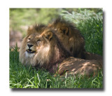 Captive Lions.jpg