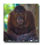 Captive Orangutan.jpg