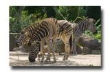 Captive Zebras.jpg