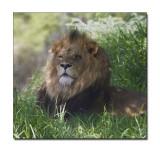 Lion 11.jpg