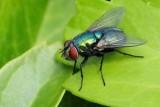 keizervlieg in heldere kleuren