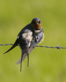 Boerenzwaluw Barn Swallow