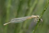 Tengere grasjuffer-Scarce Bleu-tailed Damselfly