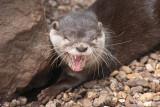 Zwergotter / Asian short-clawed otter