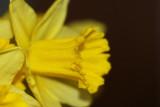 Osterglocke / Daffodil