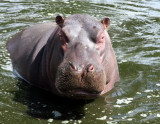... this creature fierce is styled the Hippopotamus...