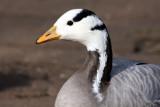 Streifengans / bar-headed goose