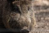 Wildschwein / wild boar