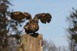 Europäischer Uhu / eagle owl