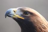 Taiga, das Steinadler-Weibchen / Taiga, the female golden eagle