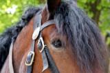 Kutschpferd / coach horse