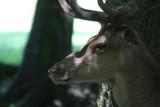 Rothirsch / red deer