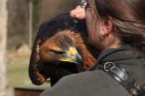 weiblicher Steinadler / female golden eagle