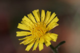 Habichtskraut / hawkweed