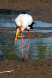 Nimmersatt / yellow-billed stork
