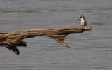 pied kingfisher / Graufischer