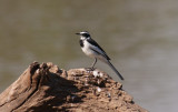 African pied wagtail / Witwenstelze