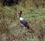 saddle-billed stork / Sattelstorch