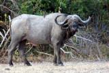 Kakuli, old buffalo bull