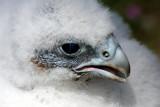 junger Wanderfalke / peregrine chick