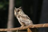 Waldohreule / long-eared owl