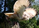 Sibirischer Uhu / Siberian eagle owl